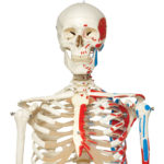 A11-1_01_1200_1200_Skeleton-Model-with-Painted-Muscle-Origins-and-Inserts-Max-Hanging-Stand
