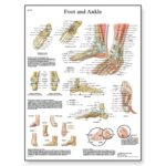 foot-joints-of-foot-chart-1001490-3b-scientific