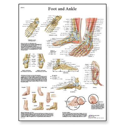 foot-joints-of-foot-chart-4006662-3b-scientific