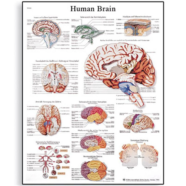 human-brain-chart-1001584-3b-scientific