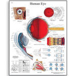 human-eye-chart-1001496-3b-scientific
