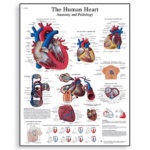 human-heart-chart-1001524-3b-scientific