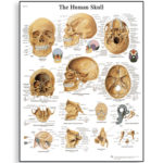 human-skull-chart-4006656-3b-scientific