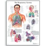 respiratory-system-chart-1001516-3b-scientific