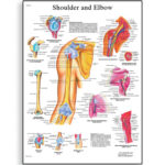 shoulder-and-elbow-chart-4006658-3b-scientific