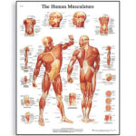 the-human-muscle-chart-1001470-3b-scientific