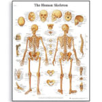 the-human-skeleton-chart-1001468-3b-scientific
