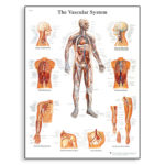 vascular-system-chart-1001528-3b-scientific